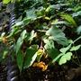 Begonia_sutherlandii_31.7.9