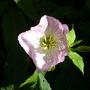 Oenthera_pink_petticoats_31.7.9