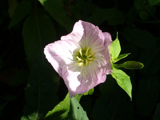Evening primrose. (Oenothera odorata (Fragrant Evening Primrose))