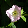 Evening primrose. (Oenothera odorata (Fragrant Evening Primrose))