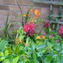 Monarda and crocosmia