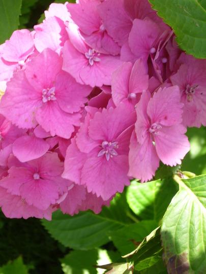 Hydrangea 'close up' (Hydrangea paniculata (Hydrangea))