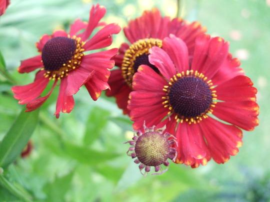 Helenium 'Red Jewel' (Helenium autumnale (American Sneezeweed))