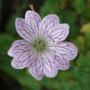 Geranium versicolor (Geranium versicolor)
