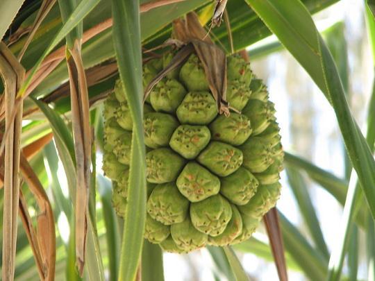 Pandanus tectorius? fruit (Pandanus tectorius (Pandanus))