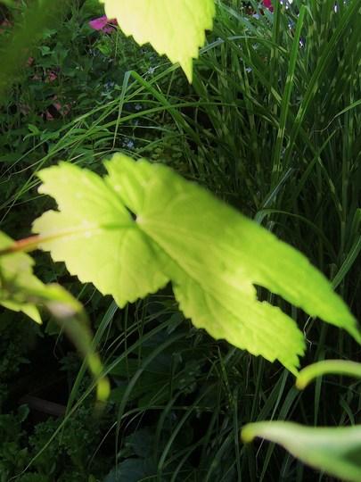 Gold Leaf....
