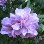 Hibiscus_syriacus_lady_bracknell_2009