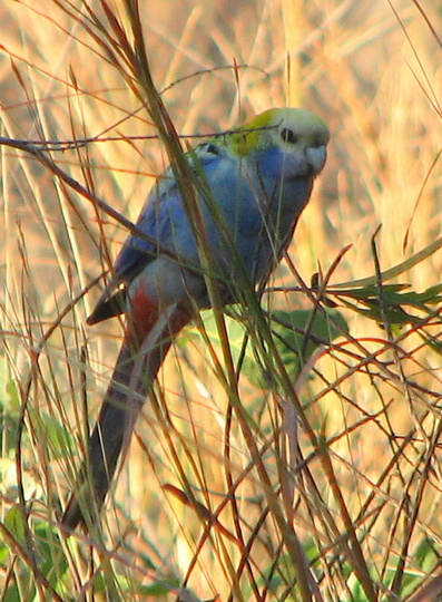 Garden visitor - Pale-headed Rosella (Platycercus adscitus)