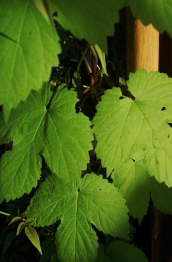 Golden Hops (Humulus lupulus (Golden Hop))