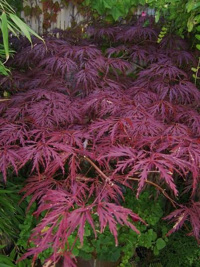 Acer palmatum dissectum purpurem (Acer palmatum (Japanese maple)disectum purpurea)