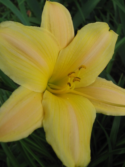 day lily (hemerocallis)