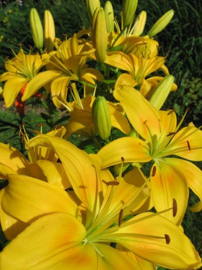 yellow lilies (lilium)