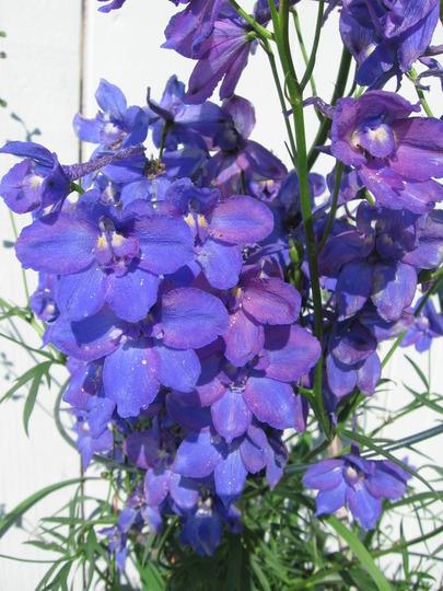 delphinium blues (Delphinium elatum (Delphinium))
