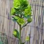 Euphorbia Flower