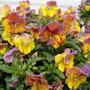 Violas (Viola x williamsii (Viola))
