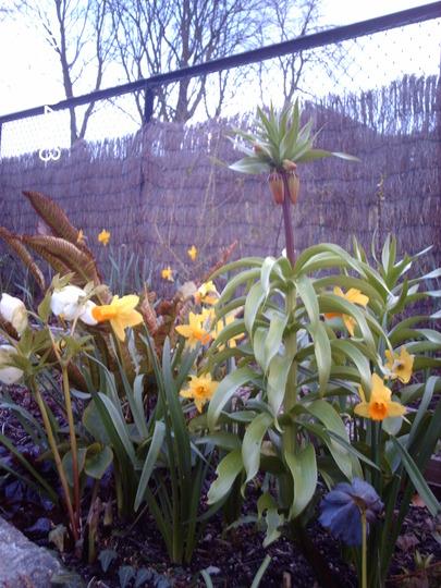 Waiting (Fritillaria imperalis (Crown imperial))