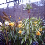 Waiting (Fritillaria imperalis (Crown imperial))