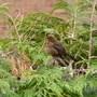 Female Blackbird - is that correct?