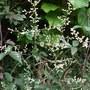 Artemisia_lactiflora_guizho_