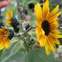 Many headed sunflower