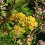 Achillea 'Terracotta' (Achillea millefolium (Yarrow)'Terracotta')