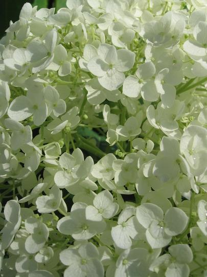Annabell hydrangea (Hydrangea arborescens (Hydrangea))