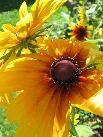 here comes the sun! (Rudbeckia fulgida (Black-eyed Susan))