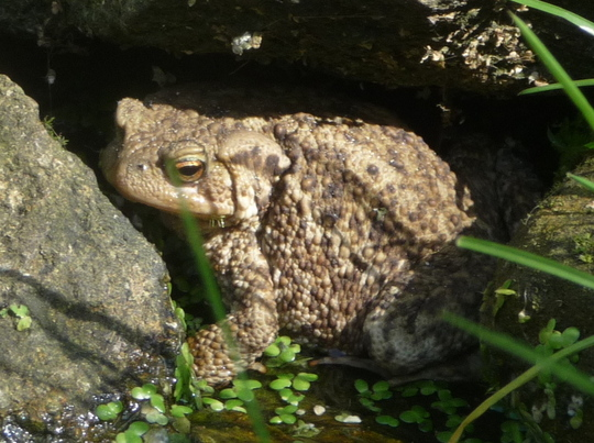 Mr Toad - warts and all.