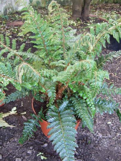 Polystichum polyblepharum (Polystichum polyblepharum)