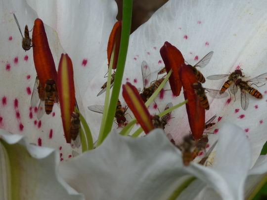 The Hover Boys! (Lilium Orientalis)