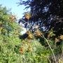 doing berry nicely (Sorbus aucuparia (Mountain ash / Rowan))