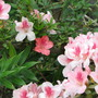 Azalea in bloom - one strange little red bloom in the midst of all the pink! (Rhododendron simsii)