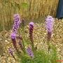 A garden flower photo (Liatris spicata)