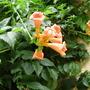 Campsis grandiflora (Campsis x tagliabuana (Trumpet creeper))