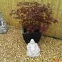 Happy Buddha (Acer Palmatum Atropurpureum)