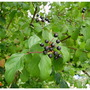 Dogwood Berries in August (Cornus sanguinea (Common dogwood))