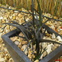 Lilytuft (Ophiopogon planiscapus)