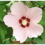 Hibiscus (Shrubby Mallow) 2 (Hibiscus syriacus (Gurhul))