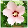 Hibiscus (Shrubby Mallow) 3