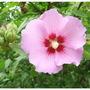 Hibiscus6