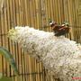 Summer visitor (Buddleja davidii (Butterfly bush))
