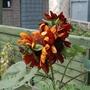 Multi-headed sunflower