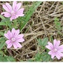 Common_mallow