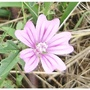 Common_mallow_close_up