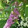 Buddleja and butterfly (Buddleja davidii (Butterfly bush))