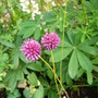 another allium (Allium sphaerocephalon (Round-headed leek))