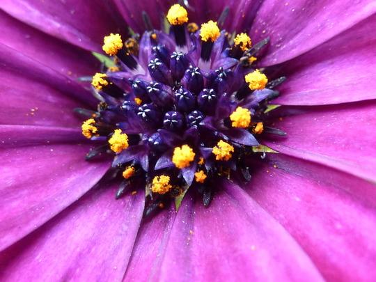 Osteospermum - very close up!
