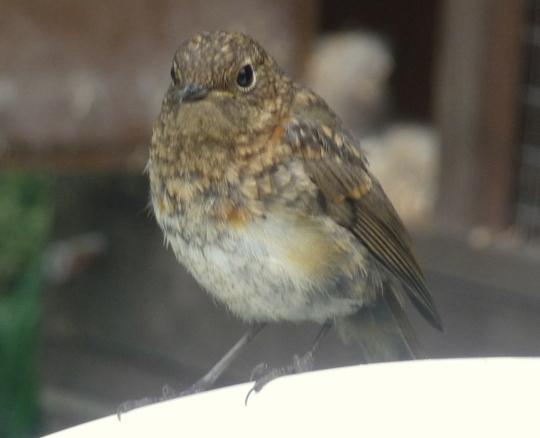 Fledgling robin 2