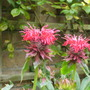 Monarda_cambridge_scarlet_2.8.9
