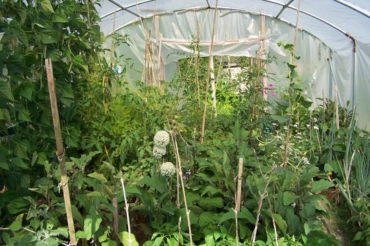 'Tropical rain forest' in the polytunnel
